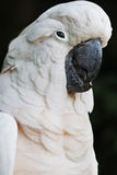 Parrot. Male Moluccan Salmon Crested Cockatoo Royalty Free Stock Photography