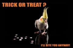 Parrot meme хеллоуина смешное, фокус или обслуживание, я сдержу вас Cockatiel есть конфету холодные memes и цитаты стоковое изображение rf
