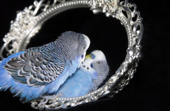 Parrot and mirror Stock Photos