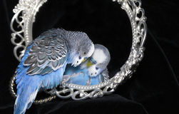 Parrot and mirror Stock Photo