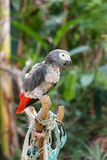 Parrot moulting. In garden indonesia Stock Images