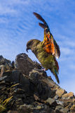A parrot on a mountain Royalty Free Stock Image