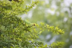 Parrot on the mulberry tree. The parrot sitting mulberry tree,and eating mulberry fruits in Madi Nepal stock photo