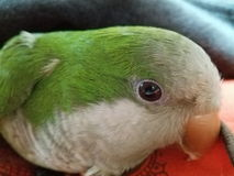Parrot. My pet Pepito Stock Photography