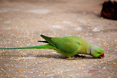 Parrot picking grains with beak. Parrot on my roof picking grains with beak. The rose-ringed parakeet is sexually dimorphic. The adult male sports a red or black Royalty Free Stock Photo