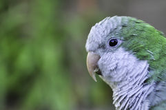 Parrot Myiopsitta monachus Argentina Royalty Free Stock Images