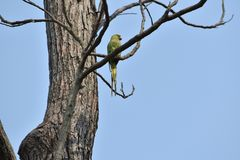 Parrot on a naked tree Royalty Free Stock Photography