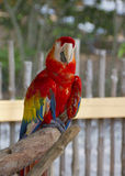 A Parrot at the Naples Zoo. Parrots, also known as psittacines are birds of the roughly 372 species in 86 genera that make up the order Psittaciformes, found in Stock Images
