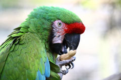 Parrot with nut. Poirtret of parrot eating nut; are is the bigest parrot of the word ,portret of this beauty bird in wildlife Stock Photography