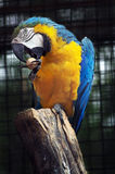 Parrot and a nut Royalty Free Stock Image