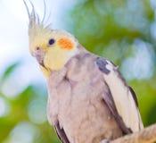 Parrot Nymphicus hollandicus Royalty Free Stock Photos