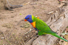 Parrot on the old log Royalty Free Stock Photos