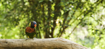 Parrot ona a tree. Colorful parrot in sentosa island in a tree Stock Photography