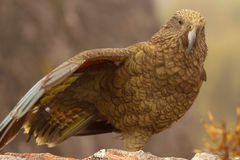 Parrot On One Leg Stock Image