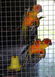 Parrot orange in cage Royalty Free Stock Photos