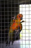 Parrot orange in cage Stock Photography