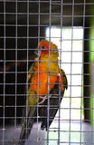 Parrot orange in cage Royalty Free Stock Photo