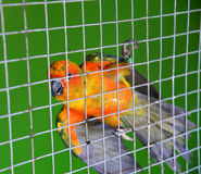 Parrot orange in cage Royalty Free Stock Images