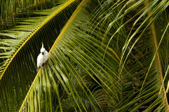 Parrot on a palm tree. White cockatoo sitting on a swaying palm Royalty Free Stock Photography