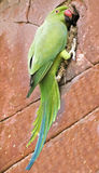 Parrot parakeet on a brick wall. Funny parrot parakeet on a brick wall Royalty Free Stock Image