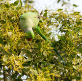 A Green Parrot Royalty Free Stock Photo