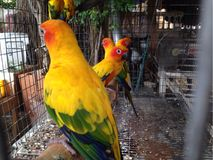 Yellow parrot in a cage Royalty Free Stock Photos