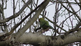 Parrot - Parakeet on a tree branch. stock video footage