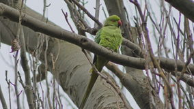 Parrot - Parakeet on a tree branch. stock footage