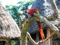 Parrot. Parat in Kenia afrcia wildlife Royalty Free Stock Images
