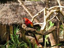 Parrot. Parat in Kenia afrcia wildlife Stock Images