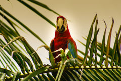 Parrot in the Park ,island of Mucura,Colombia Stock Image