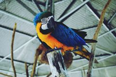 A Parrot. Parrots, also known as psittacines are birds of the roughly 393 species in 92 genera that make up the order Psittaciformes, found in most tropical and Royalty Free Stock Images