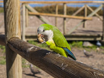 Parrot. S sitting on a fence eating nuts Stock Photo