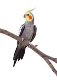 Parrot on the perch. Parrot with yellow crest sitting on the perch isolated on white royalty free stock photo