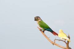Parrot on a perch on wooden Royalty Free Stock Photo