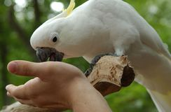 Parrot Perched. A white parrot eating from someone's hand royalty free stock image