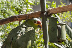 Parrot perched by feeder Royalty Free Stock Photo
