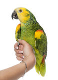 Parrot perched on a hand Stock Image