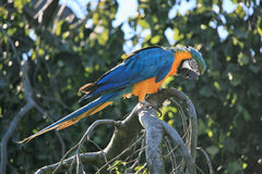 Parrot perched on the tree Royalty Free Stock Photos