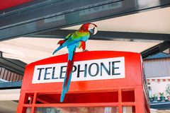 Parrot on phone booth in a cafe Royalty Free Stock Images
