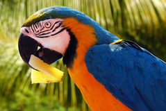 Parrot with a pineapple Stock Images