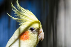 Parrot with pink cheeks Royalty Free Stock Photos
