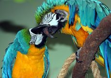 Parrot Play Royalty Free Stock Photo