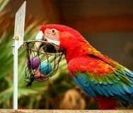 Parrot playing basketball Royalty Free Stock Images