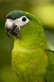Parrot Portrait. Green Parrot Posing for the Camera Royalty Free Stock Image