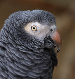 Parrot Portrait Royalty Free Stock Photo