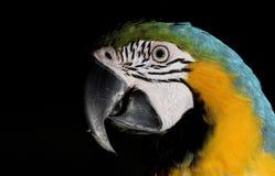 Parrot portrait Stock Photography