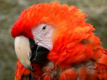 Parrot portrait Stock Images