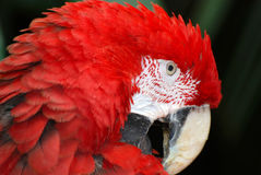 Parrot. Portrait of a beautiful parrot Ara Macao Royalty Free Stock Photo
