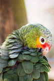 Parrot portrait of bird. Wildlife scene from tropic nature. Royalty Free Stock Photo